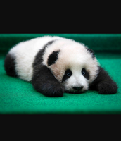 Appearance of the Giant Panda