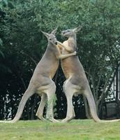 Kangaroos in their habitat