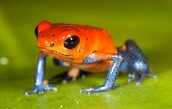 Strawberry or Blue Jeans Dart Frog