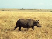 White Rhinos tramp through the plains of South Africa