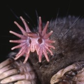 The Star-Nosed Mole