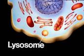 Lysosomes ( Both )