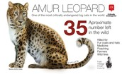 And this is the Amur Leopard