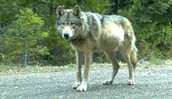 This is the wandering wolf from Oregon to California.