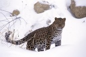 amur leopard in stalking mode