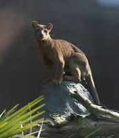 Fossa gazing on a rock