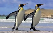 Differences between African and Arctic Penguins