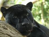 Jaguar preto