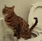 Plassende kat