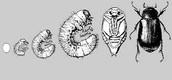 water bug life cycle