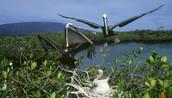 The Mangrove Brown Pelicans