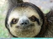 Description of the Sloth.
