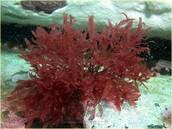 Algas rojas.