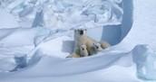 Polar bear denning