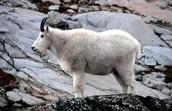 Mount Goats
