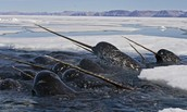 Narwhals are spotted in Opalalus Ocean
