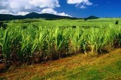 West Indies Sugar Cane