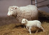 What is cloning livestock?
