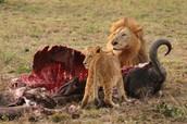 lion food