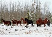 Canada's Wild Horses