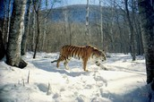 tigers In the cold forests