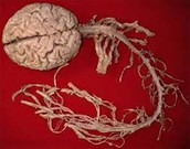 A picture of both the brain and spinal cord