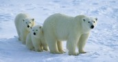 What a Polar Bears look like .