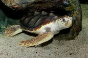Tortues Canouannes