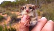 The Pygmy Possum
