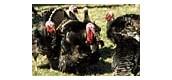 Turkeys in barnyard