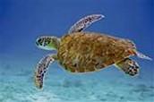 7 - La tortuga de mar