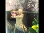 Cam the Spectacled Caiman