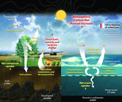 11. Explain the Carbon Cycle and how do humans affect this cycle?