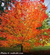 Maple Sugar Tree