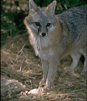 Gray foxes can be found in this region
