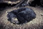 A hibernating bear