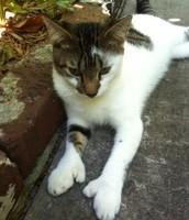 Six-toed Cat