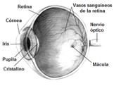 Características del proceso de percepción asociados con el órgano de la visión