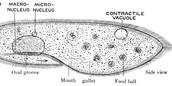 Parmecium