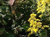 Yellowish flowery plant