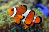 Clown fish: Amphiprioninae