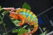 Where does the chameleon live?