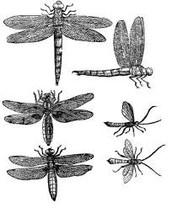 Winged insects