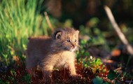 This is a baby lynx