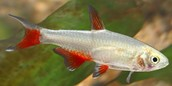 The Bloodfin Tetra Fish