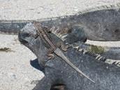 Marine Iguanas and Lava Lizards