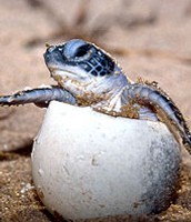 This is a baby leatherback turtle hatching