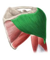 Musculus deltoides