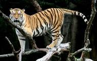 The Siberian Tiger Climbing a Tree