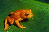 Male Golden Toad
